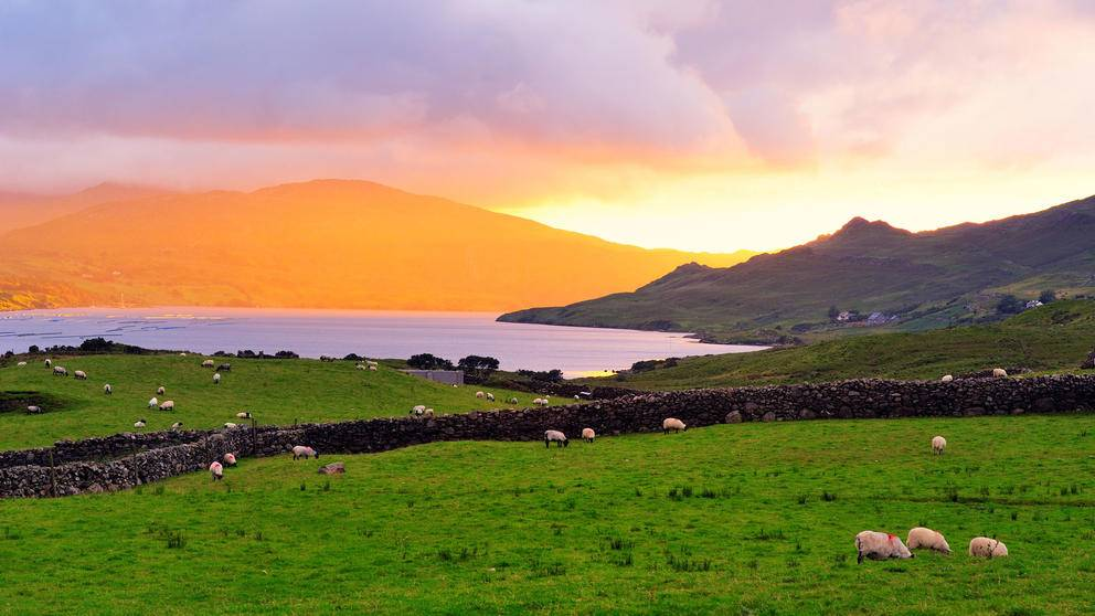 Sheep grazing on shores of Killary Harbour, County Galway, Ireland