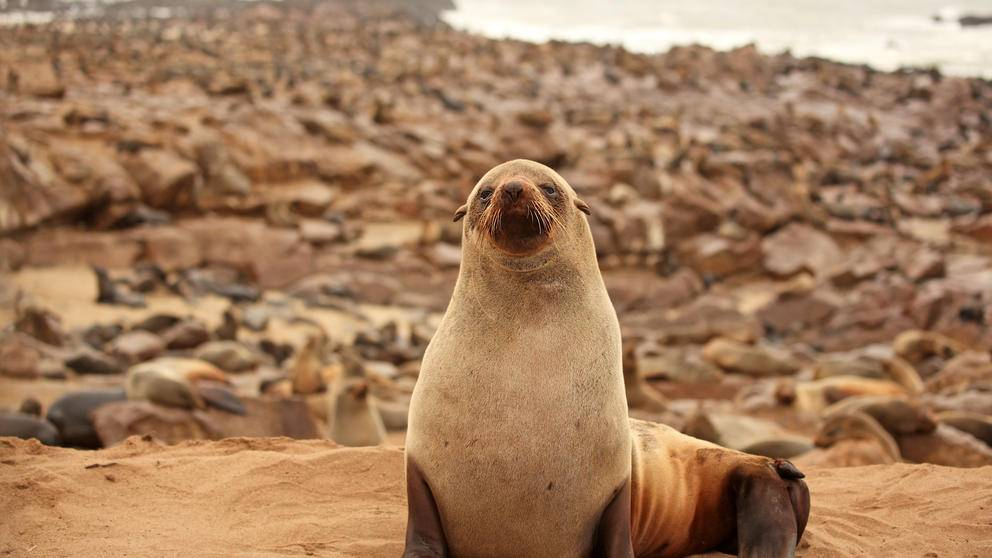 Seal Namib Coast