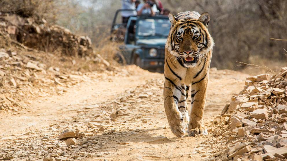 Tiger, Ranthambore, India