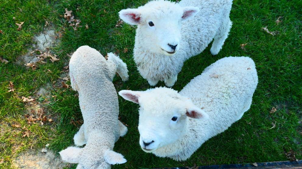 New Zealand Sheep LCT Blog Post