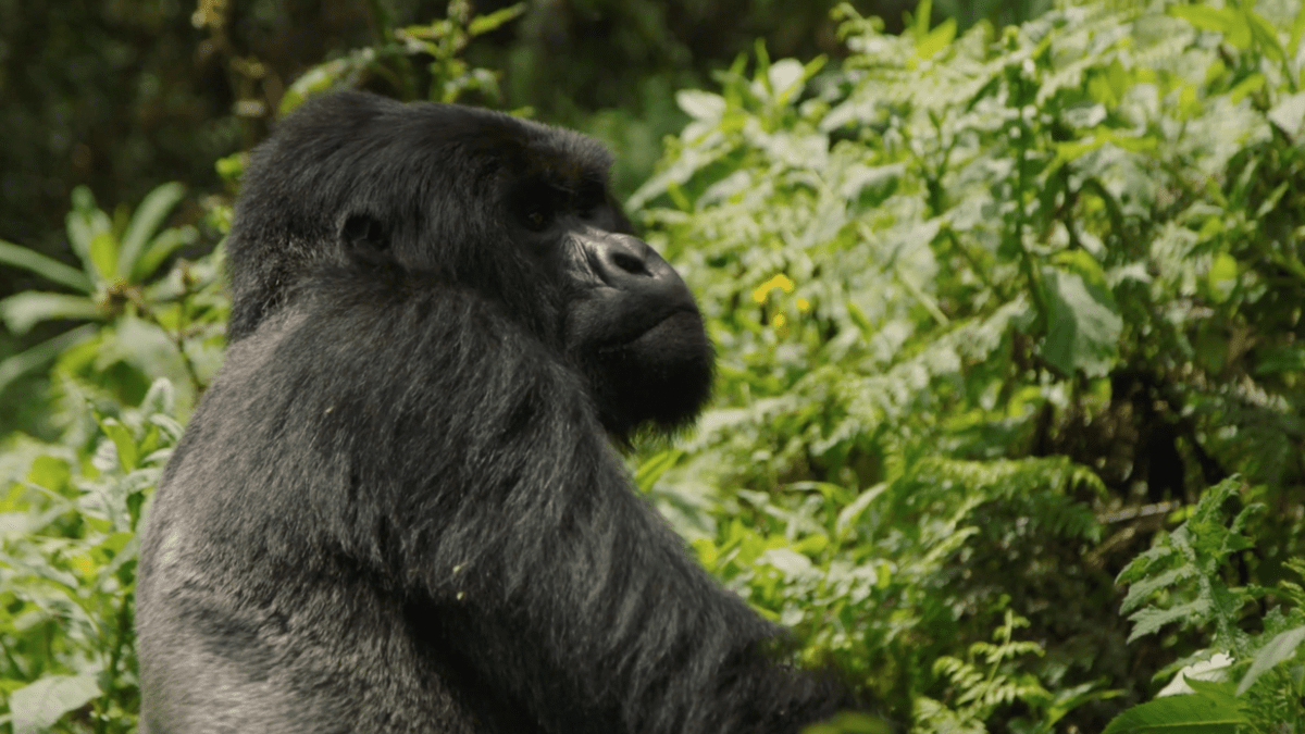Gorilla in forest looking to the right