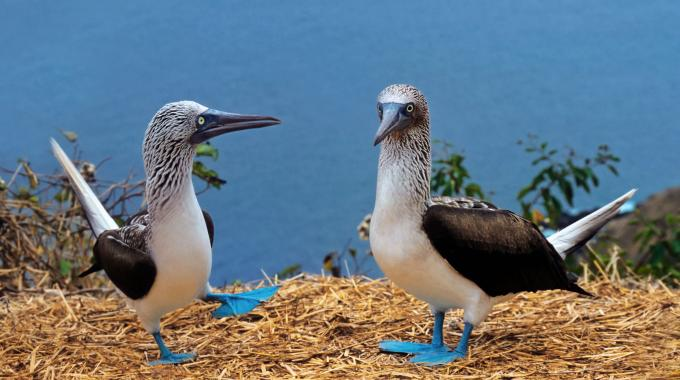 Blue-footed boobies, Galápagos Islands