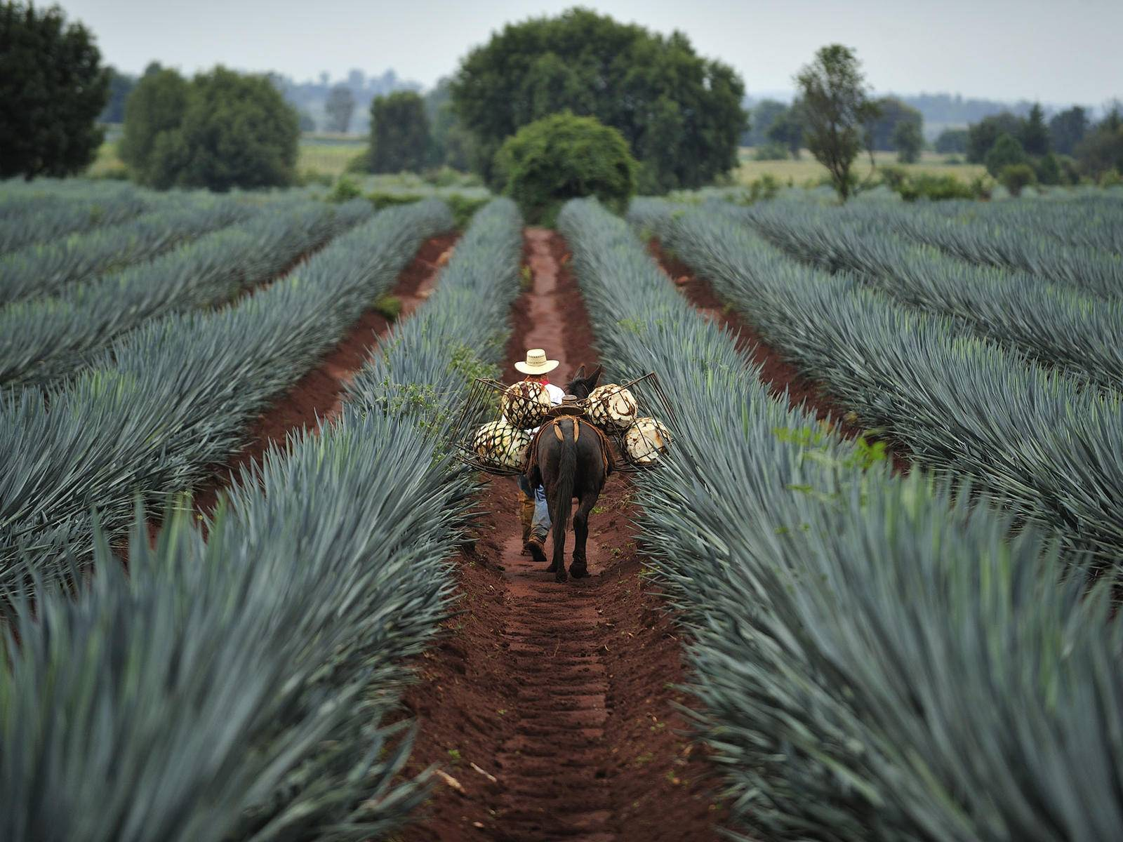 Farm worker walking with donkey in field of agave plants Mexico
