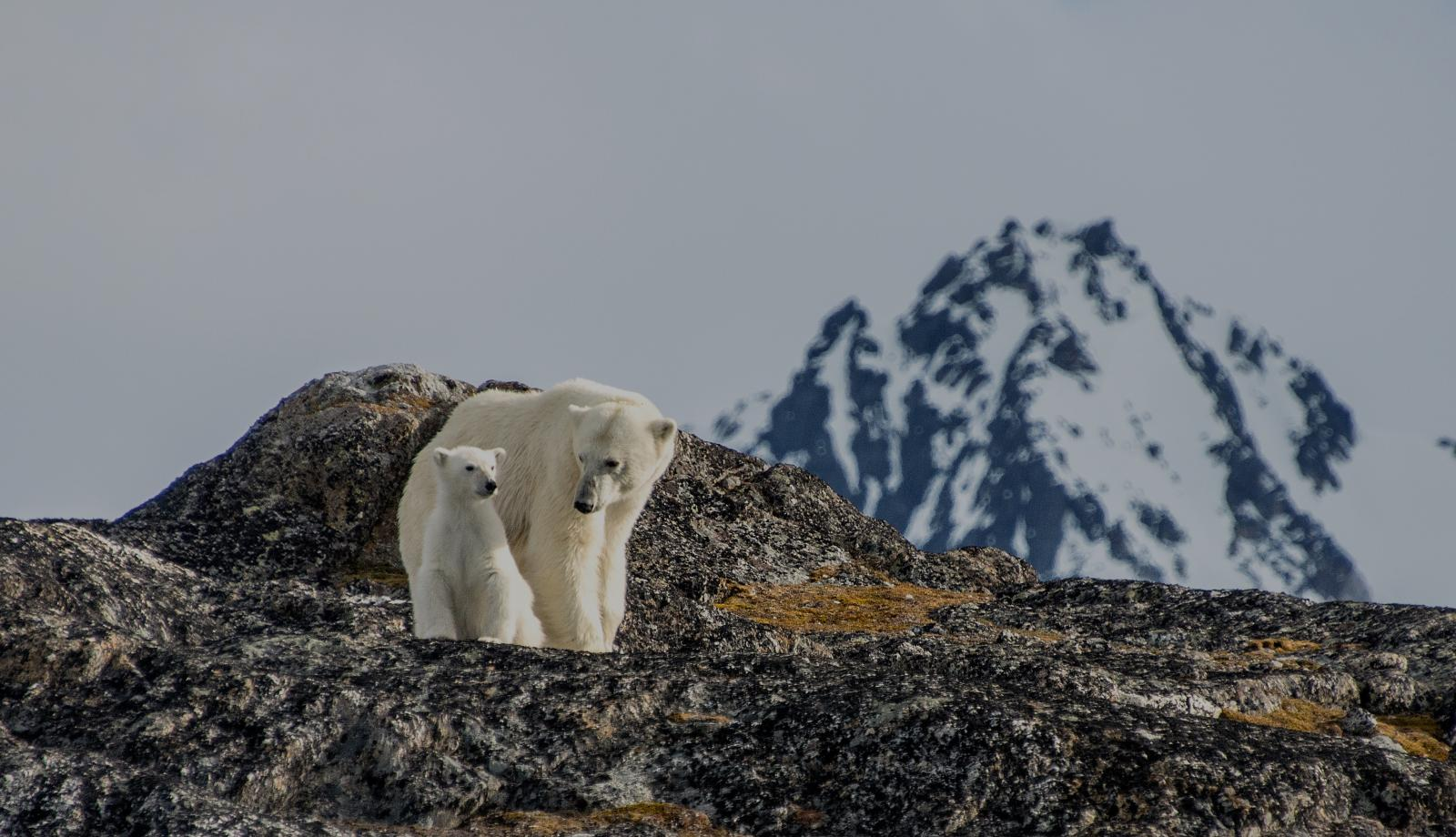 Polar bears, Svalbard Islands, Norway